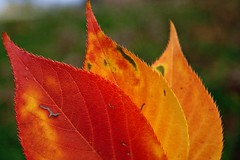 Wonderful colors of autumn (pamipipa) Tags: autumn red orange fall hoja yellow leaf rojo amarillo otoo naranja