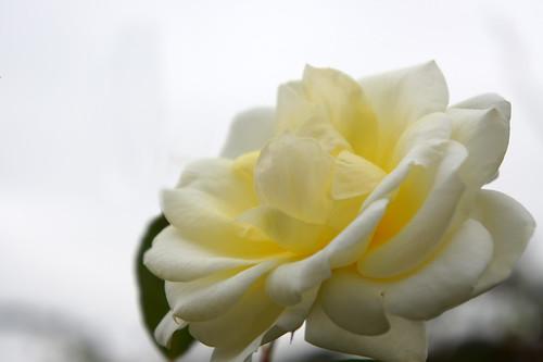 Rose Love Letter バラ ラブレター