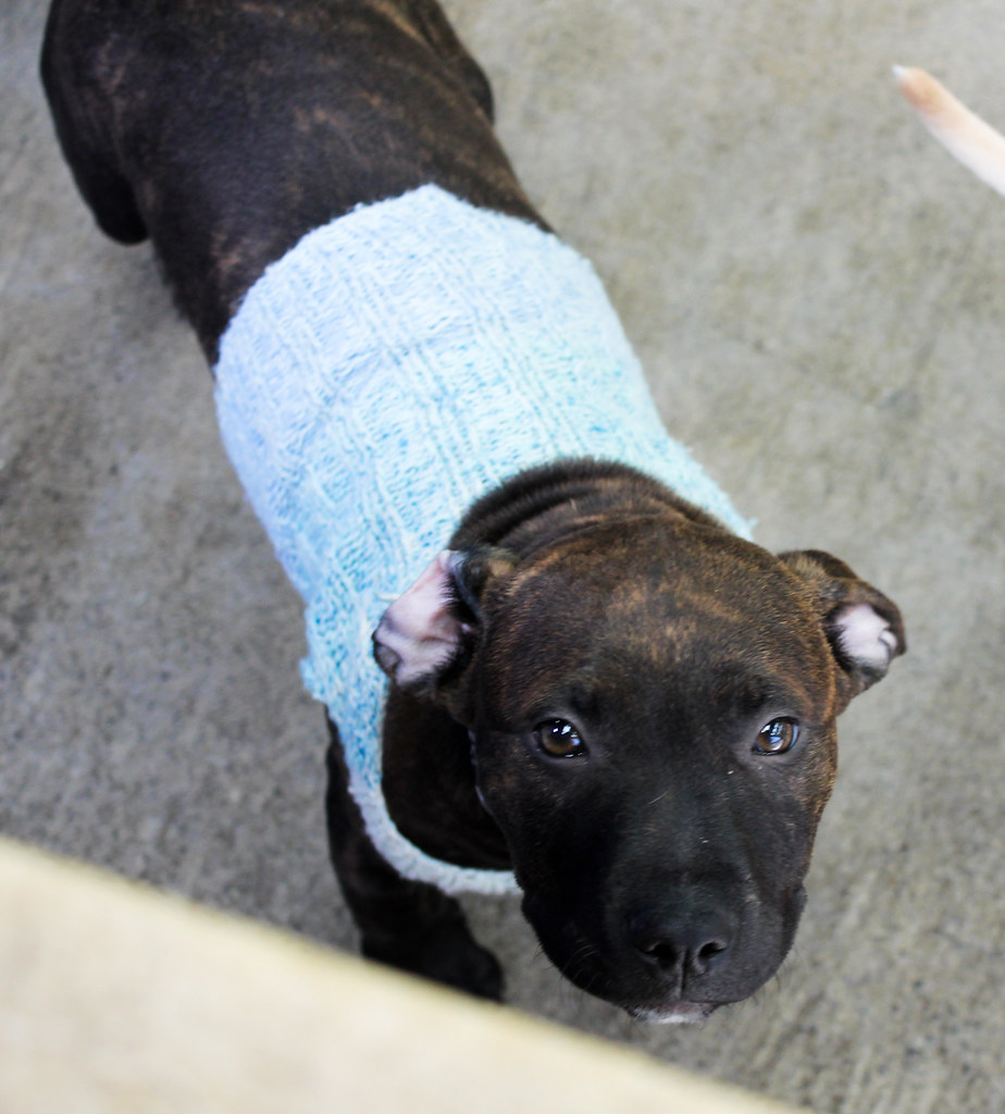 Puppy in a sweater Wellington SPCA
