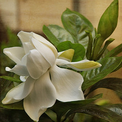 Gardnia (Martha MGR) Tags: flowers flower texture textura nature square flor mmgr gardnia marthamgr marthamariagrabnerraymundo marthamgraymundo