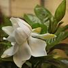 Gardênia (Martha MGR) Tags: flowers flower texture textura nature square flor mmgr gardênia marthamgr marthamariagrabnerraymundo marthamgraymundo