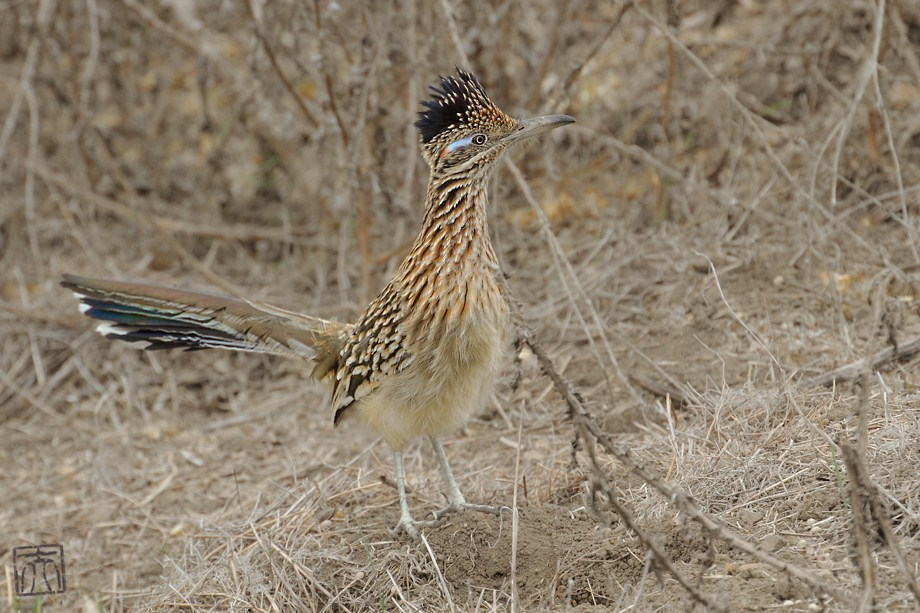 Greater Roadrunner 110811