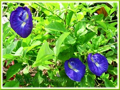 Striking blue flowers of Clitoria ternatea #2/3