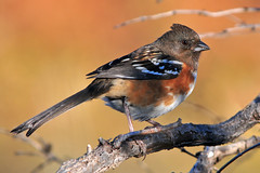Spotted Towhee (NaturalLight) Tags: park creek kansas spotted wichita towhee chisholm chisholmcreekpark avianexcellence