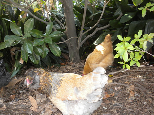 Garden District chickens
