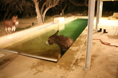 Donkey in the pool