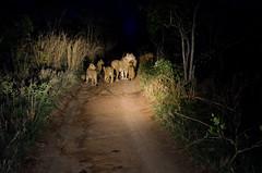 South Africa: Pride of lions at night (Rolf Crisovan Photography) Tags: africa cats animals southafrica tiere safari activity mammals katzen südafrika krugernationalpark locations löwe southernafrica sabisabi säugetiere sabisandgamereserve travellingtrips