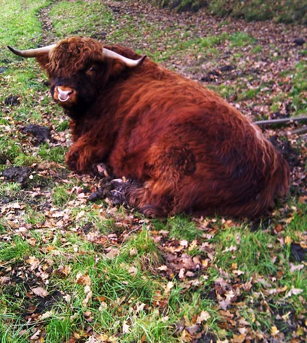 Bull, Highland Cattle Breed
