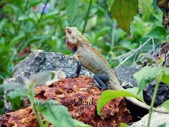 Chameleon (Abdullah Sulaiman || Asad ) Tags: india sony kerala chameleon abdullah  suliman    hx1  askad