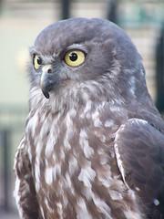 Nuebi the Barking Owl (Kez64) Tags: zoo australia australiazoo barkingowl