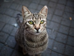 The irresistible cat, Kanlica - Istanbul (adde adesokan) Tags: turkey europe olympus istanbul trkei m43 mft mirrorless microfourthirds mirrorlesscamera