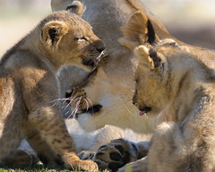 Lioness & cubs at Wild Animal Park in Escondido-41 2-12-08