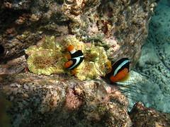 Clark's anemonefish (Christophe Maerten) Tags: ocean life fish indonesia marine nemo indian diving area indonesie pulau corals anemonefish marien indonesi leven weh oceaan duiken koraal indische gebied beschermd plonger protectedd clownvisen