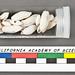 Acteocina pedroensis