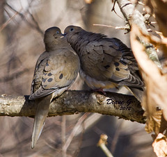 Love is in the air. (Diane G. Zooms) Tags: nature birds wildlife ngc npc doves wildbirds coth thegalaxy kissingdoves specanimal fantasticnature itsawonderfulworld commondoves coth5