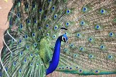 Nature's Beauty (Mayur Kakade) Tags: india bird colors beauty birds colours peacock rajasthan ranathambore