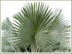 Bismarckia nobilis (Bismark/Bismarck Palm): closeup on its fan-like fronds