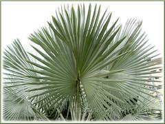 Bismarckia nobilis (Bismark/Bismarck Palm): closeup on its fan-like fronds