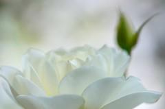 Valge roos (anuwintschalek) Tags: park autumn white macro rose austria october herbst 85mm roos bud weiss niederösterreich pung stadtpark knospe sügis wienerneustadt micronikkor valge d7k nikond7000