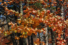 Sylvania Wilderness (pchgorman) Tags: trees leaves october michigan forests sylvaniawilderness ottawanationalforest