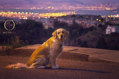 Viewing The City By The Bay (VeryViVi) Tags: dog goldenretriever canon dawn explore 7d vivi beforesunrise citybythebay oaklandhills flickrexplore explored missvivigold veryvivi oaklandfirestormcommemoration