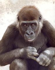 Alberta in 1983 (San Diego Zoo Global) Tags: animals zoo san gorilla diego alberta ape tribute