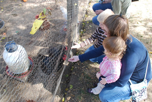 Feeding the chickens/roosters