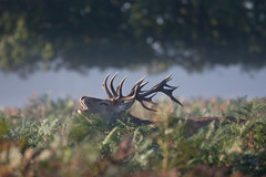 _A7A6464 (asbimages.co.uk) Tags: park morning autumn sunset sun mist fall nature animal fog sunrise dawn stag dusk wildlife deer backlit roar reddeer roaring baying rut bushypark bushy rutting cervus cervuselaphus elaphus beastofbushy