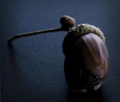. (wordster1028) Tags: macro acorn narrowdof lightroom3 photoshopcs5