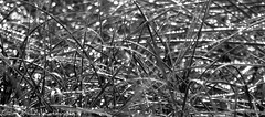 Grass (Zandgaby) Tags: light shadow blackandwhite bw white black macro texture nature wet grass closeup dewdrops drops dunes picasa dewdrop panasonic dew bandw shimmering dense lightroom structured gabymichels