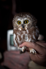 Northern Saw-whet Owl /   (mohammadali) Tags: life trip vacation canada fall animal night canon october edmonton oct ab alberta owl northern     sawwhet northernsawwhetowl 2011 tofield 1390