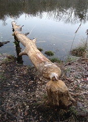 Industrious beaver activity Photo