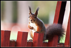 Hello there! (mmoborg) Tags: fence squirrel sweden sverige ekorre staket 2011 thepinnaclehof tphofscore5016 mmoborg mariamoborg tphofweek124