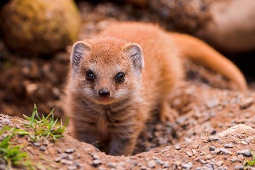 無料写真素材, 動物 , 哺乳類, マングース