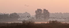 Sound! (Licht und Korn) Tags: morning bird colors birds sunrise dawn morninglight geese sound dawning noise lichtundkorn