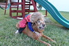 IMG_9091 (drjeeeol) Tags: dog pet halloween goldenretriever costume backyard katie tiger superman superhero cape supergirl triplets toddlers 2011 36monthsold