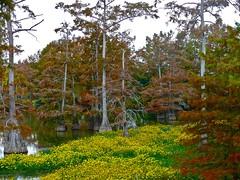 11.10.27-06 (cdevon1028) Tags: fall louisiana bayou cypresstrees