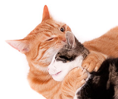 Suffocat (edwindejongh) Tags: pets love animals cat ginger kat killing wrestling domestic kater suffocate rode huisdieren hebbes suffocat edwindejongh stikken dierenfotografie eachmankillsthethingheloves catvertise sabinevanderhelm wassichliebtdasnecktsich cappictures abatutu
