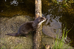 Auckland Zoo - Otter