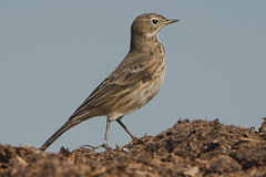 Pipit d'Amrique / American Pipit (lululemay) Tags: bird american oiseau lemay lucien pipit amrique americanpipit pipitdamrique lululemay