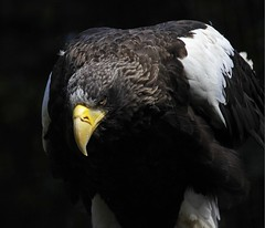 Steller's Sea Eagle - Edinburgh Zoo (Ian Lambert) Tags: sea bird japan zoo coast scotland pacific eagle russia capital beak feathers massive huge edinburghzoo haliaeetuspelagicus stellersseaeagle migrate kurilisland