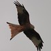 Red Kite @ Argaty