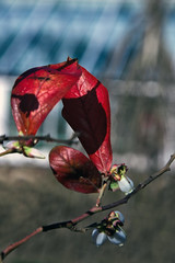 Attingham Red Leaf (Martin David Photography) Tags: red tree photoshop leaf nikon dof shropshire bokeh shrewsbury greenhouse adobe attingham atcham attinghampark d7k d7000 ellements pse9 martindavidphotography