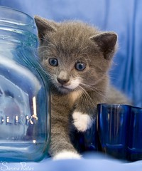 20110723_18477b (Fantasyfan.) Tags: blue pet cute animal topv111 eyes topv555 topv333 kitten fluffy staring fantasyfanin curiuos unohdus