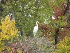 Autumn great egret