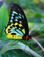I Always Dress Like This! (DigitalLUX) Tags: blue naturaleza black green nature yellow fauna butterfly insect florida mariposa insecto birdwingbutterfly ornithopteraeuphorion peregrino27macro