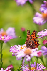* (RoYaLHigHnEsS1) Tags: summer flower macro nature canon butterfly insect orangebutterfly purpleflowers