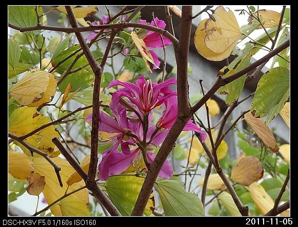 20111105F4豔紫荊