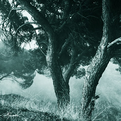 Pinus (XVII) (Transmontano) Tags: tree textura portugal photoshop texturas textured bragança braganca idream xoox abigfave theunforgettablepictures transmontano ilustrarportugal doubledragonawards portugalmagico