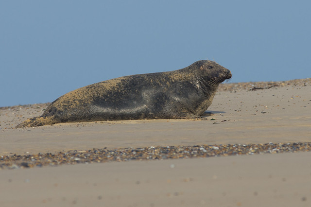 blakeney grey seal on sand bank 3